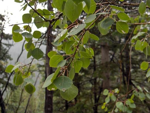 Rainy Aspen