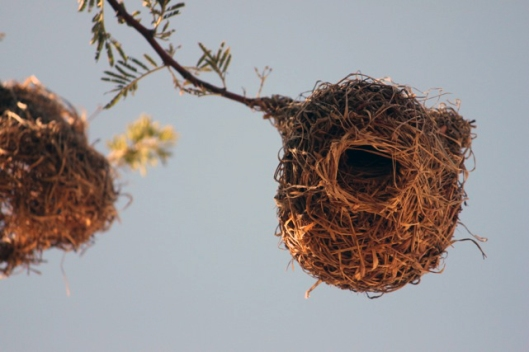 Weaver Bird Home